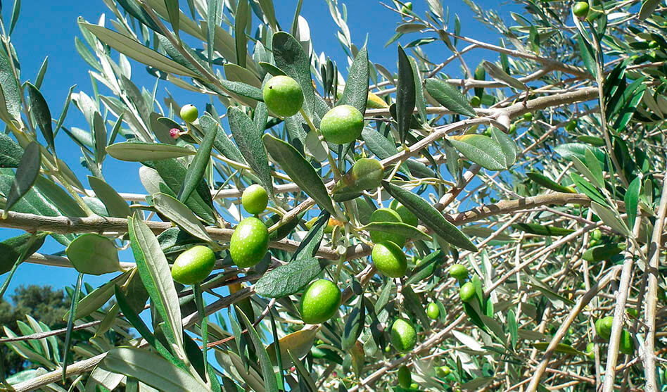 Cultiver des olives : le processus créatif