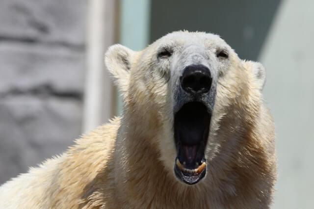 Ecrire un texte : un ours qui ouvre la bouche